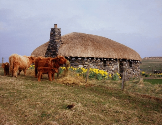 Highland Cows at a black house, Isle of Harris