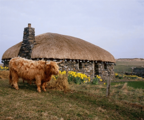 Highland Cow and black house