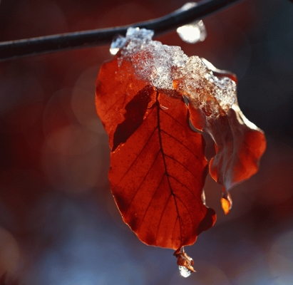 Beech leaf in winter with melting ice