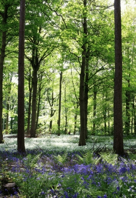 Bluebell wood with wild garlic