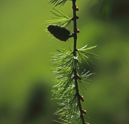 Larch (Larix decidua) twig in spring