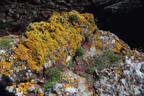 Yellow lichen, Xanthoria, above hight tide level