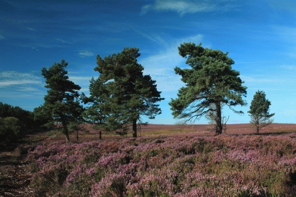 Heather moor in flower near Duns, Scottish Borders.