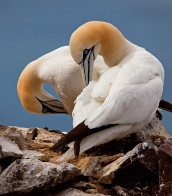 Sleepy gannets preening on Bass Rock