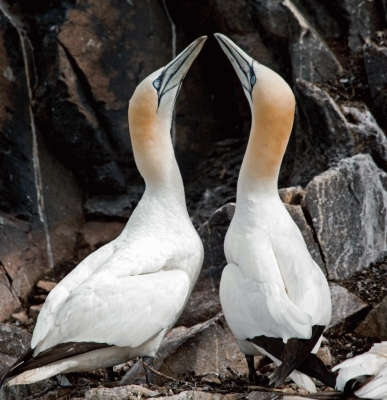 A pair of Gannets displaying on the Bass Rock