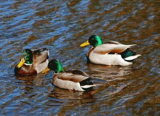 Male mallard ducks on The Water of Leith