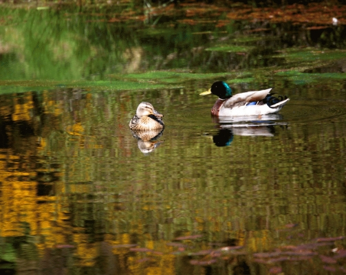 A pair of Mallards on Elf Loch