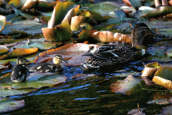 Mallard Ducklings on Elf Loch