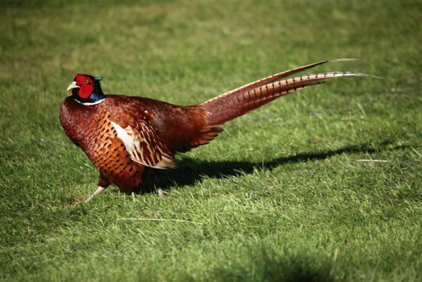 Pheasant in the city 2