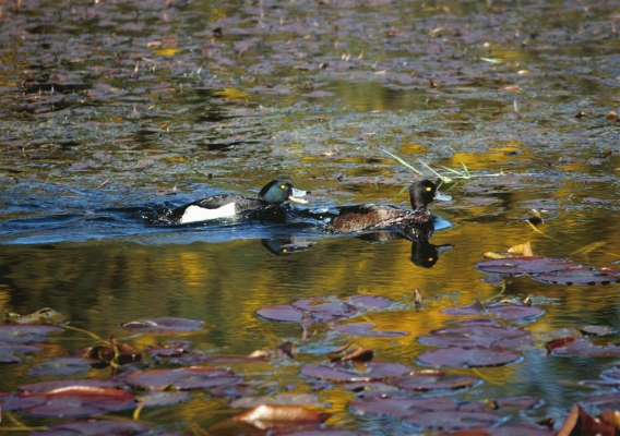 A pair of Tufted Duck on Elf Loch