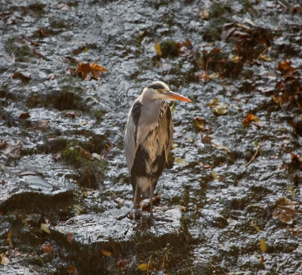 Heron, Water of Leith