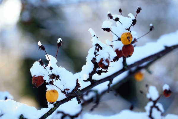 Sorbus berries with snow