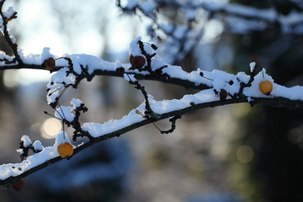 Sorbus berries with snow 2