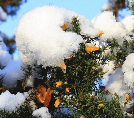 Gorse flowering with snow and ice