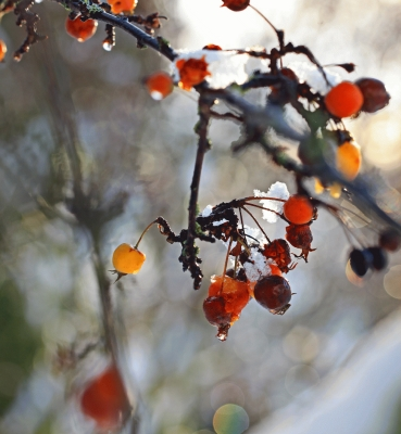 Sorbus berries with snow fragments