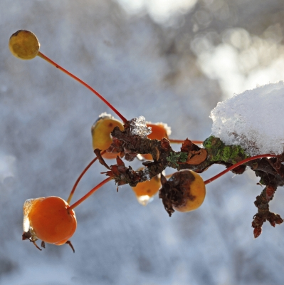 Sorbus berries in close up with frozen snow