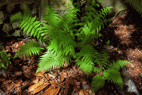 Fern fronds in dappled sunlight
