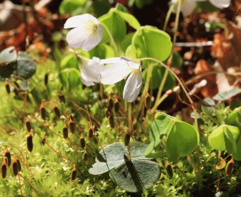 Wood Sorrel (Oxalis acetocella) and moss capsules.