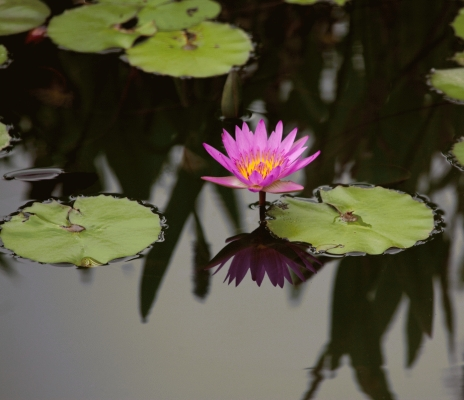 water lily at Hong Kong water park