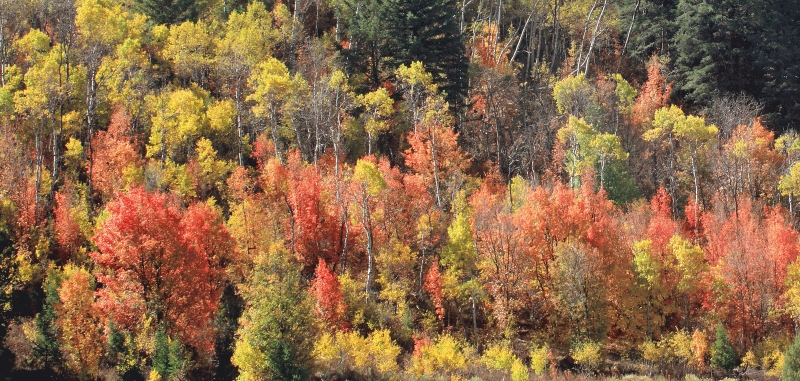 USA:  Logan Canyon, Idaho, Fall colours 3
