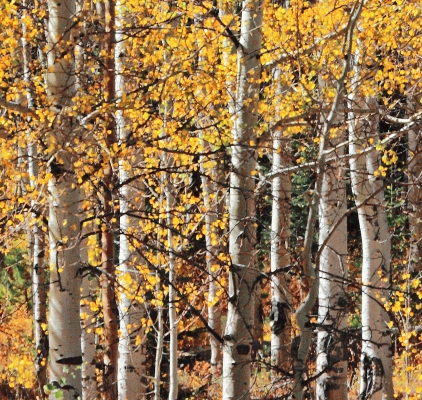 USA:  Logan Canyon, Idaho, Aspens in fall