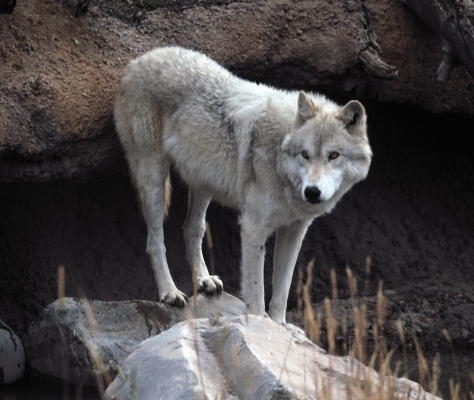USA: Wolf at West Yellowstone