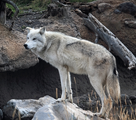 USA: Wolf at West Yellowstone 2