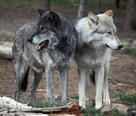 USA: A pair of wolves at West Yellowstone