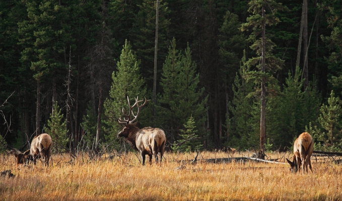 USA: A  bull elk by the Madison river, Yellowstone
