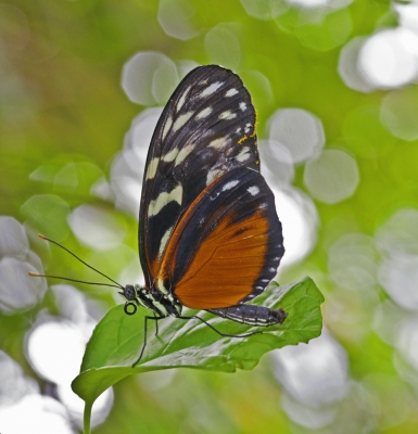 Butterfly Harmonia Tiger Wing!special new addition