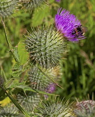 Spear Thistle with pollinating bee!special new addition
