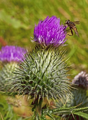 Spear Thistle with hoverfly, Helophilus pendulous!special new addition