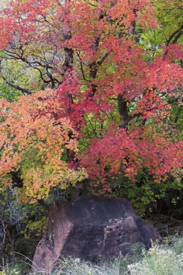Zion Canyon, fall colours with Maple and Gambel oak