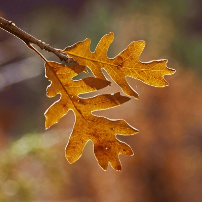 Gambel Oak leaves in fall, Zion national Park