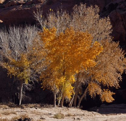Silver and gold: Cottonwoods in Canyon de Chelly, Arizona, USA.