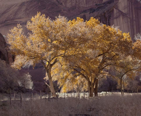 Cottonwoods at Canyon de Chelly in November, Arizona, USA
