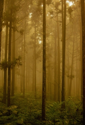 Misty forest, Xitou national park, Taiwan